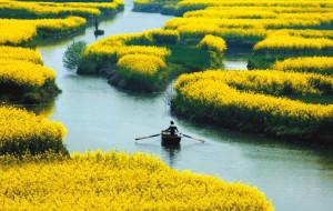 【兴化图片】兴化油菜花海(中国第三大油菜花海,最江南的花海)