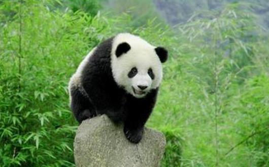 壁纸 大熊猫 动物 530_330