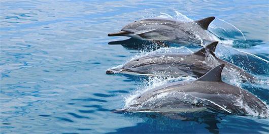 壁纸 动物 海洋动物 鲸鱼 桌面 530_265