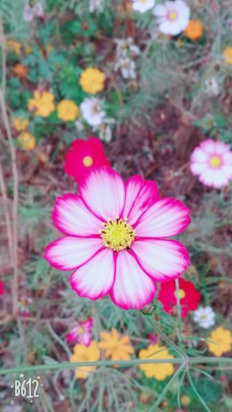 拈朵微笑的花,与你仗梦走天涯 邂逅南中医的格桑花 南京篇