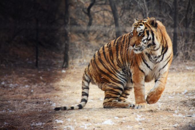 八达岭野生动物园(造访去年夏天老虎吃违规下车女现场