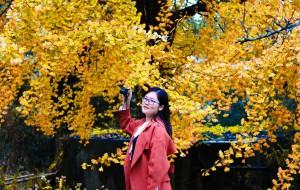 【清远图片】北上连州叹千年古银杏,广东的秋天是金色的童话