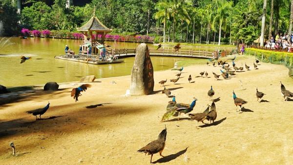 西双版纳 游记  和动物园里的孔雀不同的是,这里的孔雀比较娇小,成年