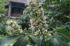 寻七叶树花