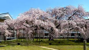 如果只去一处赏樱,一定是醍醐寺