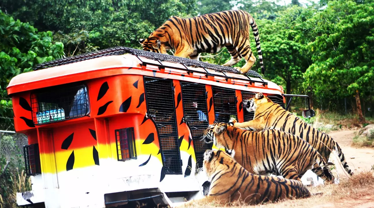 马尼拉 苏比克野生动物园门票(精彩动物表演 穿越老虎