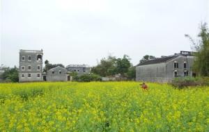 【广东图片】油菜与碉楼的邂逅:一场繁华,一场斑驳