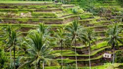 巴厘岛景点-德格拉郎梯田(Tegallalang Rice Terraces)