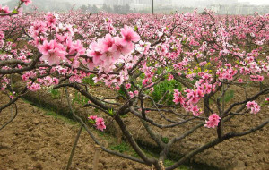 【龙泉图片】到那桃花盛开的地方