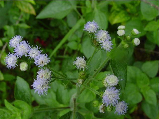 从山脚到山顶 药用菊科植物