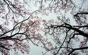 【江油图片】辛夷花舞春,雨打花娇柔——春游赏花第五季