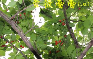 【蒲江图片】樱桃山,草莓红(四川蒲江)2013.4.4