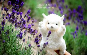 【富良野图片】【牵起你的手,让我带你看世界】── 北海道夏日的薰衣草香 2014.07