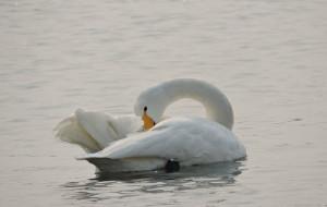 【荣成图片】冬日里的浪漫-----与美丽天鹅有个约会