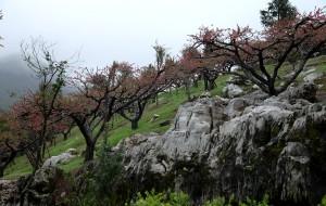 【河源图片】三月桃花红,七月鹰桃压弯枝。
