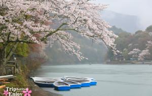 【神户图片】樱の物语、花见关西12日游
