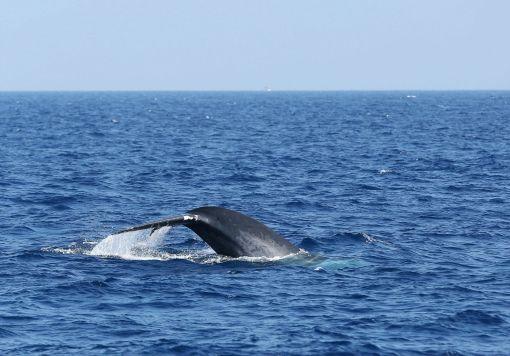 壁纸 动物 海洋动物 鲸鱼 桌面 510_356