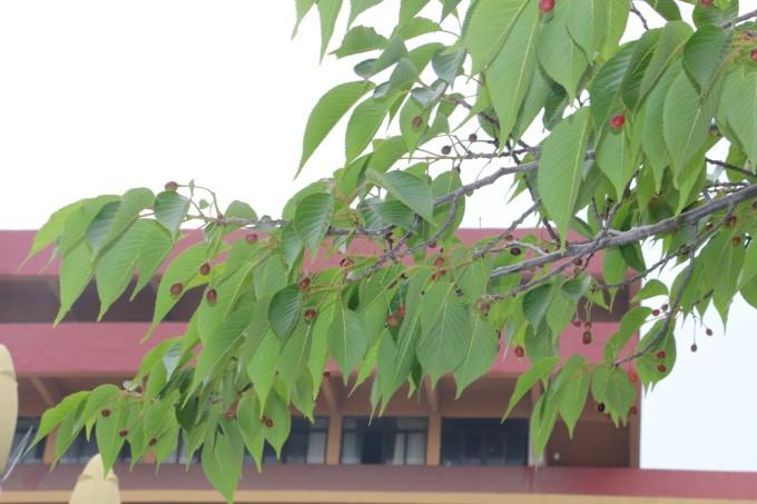 斤.   有种野生莓果的新鲜口感,很甜.   门外的野生樱桃树.图片