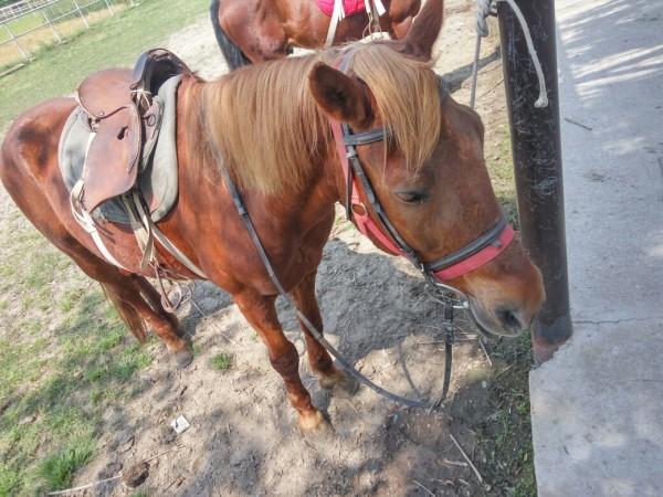 长兴 太湖/马场溜马。这里的马小的三岁,大的九岁。一般让游客溜的是两匹...